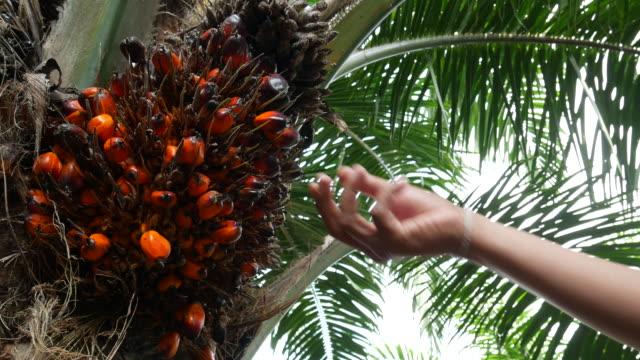vídeos de stock e filmes b-roll de hand harvesting palm oil in the plant - oleo palma