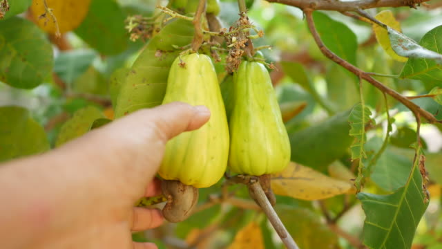 Hand harvesting ripe yellow cashew nut fruits growing on tree Hand harvesting ripe yellow cashew nut fruits (Anacardium occidentale) growing on tree in the seasonal garden botany stock videos & royalty-free footage