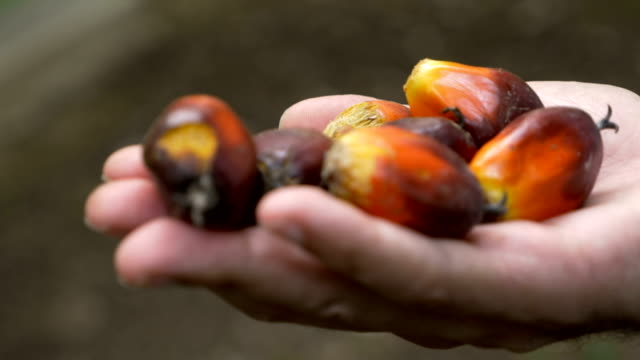 Hand held of a hand holding ripe palm berries used to make palm oil in 4k