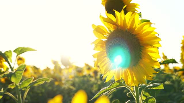 hand held view back sun light flare by sunflower in sunflower field
