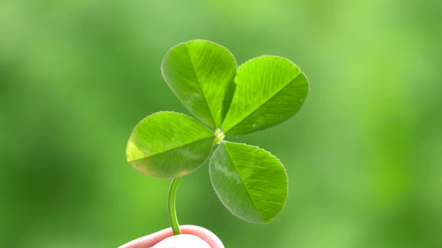 Hand Holding Beautiful Four Leaf Clover in 4K slow motion 60fps Hand Holding Beautiful Four Leaf Clover in 4K slow motion 60fps shamrock stock videos & royalty-free footage