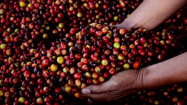 mano che tiene il caffè berry, rallentatore - coffee farmer video stock e b–roll