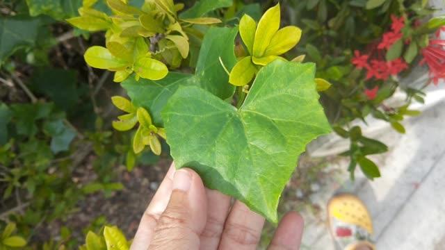 hand holding fresh green ivy gourd leaf - zucca legenaria video stock e b–roll