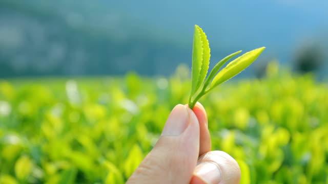 Hand holding fresh green tea leaves