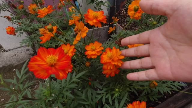 Hand Holding Red and Orange Cosmos Flowers