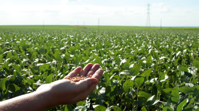 hand holding soybeans with platation and sky on the horizon and details in macro video