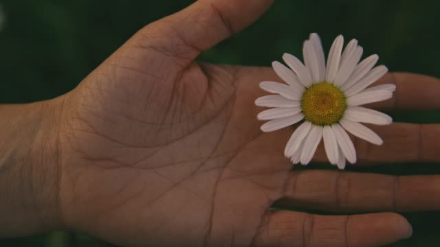 hand holding white daisy blowing in wind, real time - нивяник стоковые видео и кадры b-roll