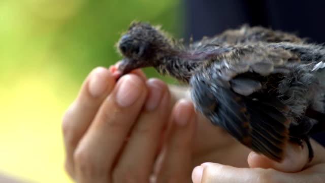 slo mo hand of a human feeding little bird. - młody ptak filmów i materiałów b-roll