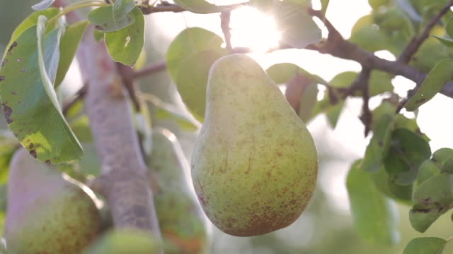 Hand of man picking a ripe pear from tree Farmer harvesting Hand of man picking a ripe pear from tree. Farmer harvesting pear stock videos & royalty-free footage