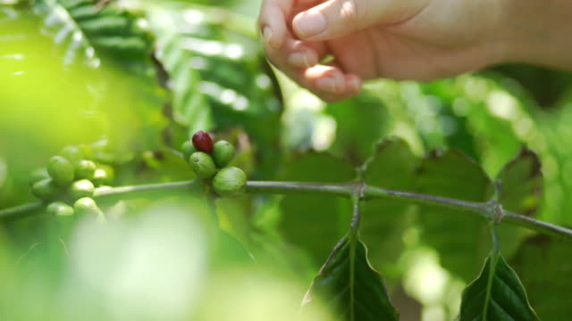 Hand of woman harvesting ripe coffee beans in the coffee plantation field.