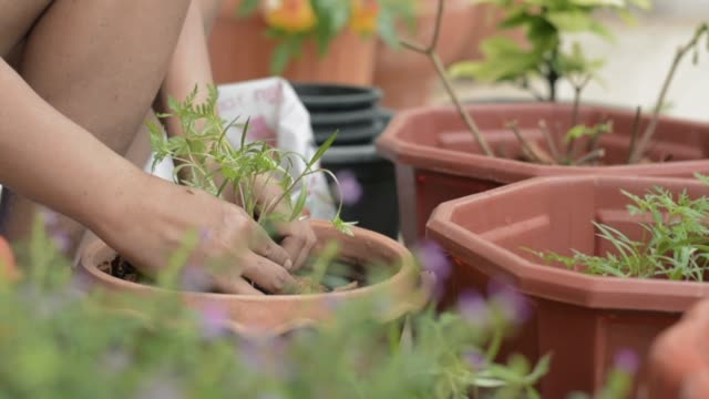 Hand of woman moving young plants to cultivate in a clay pot during quarantine at home with COVID-19 pandemic situation. Home gardening.