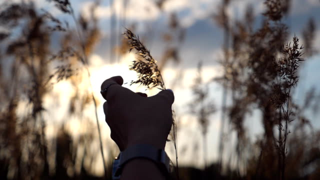 hand of woman touching plant at sunset time. female fingers stroking herb. warm summer sun light shining through wild grass. unity with nature. beautiful colorful background is defocused. close up slow motion - mano donna dita unite video stock e b–roll