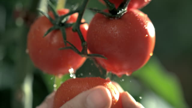 slo mo hand picking a tomato from a plant - pomodoro video stock e b–roll