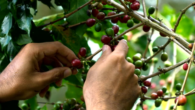 hand picking coffee beans from branch of coffee plant - piantagione video stock e b–roll