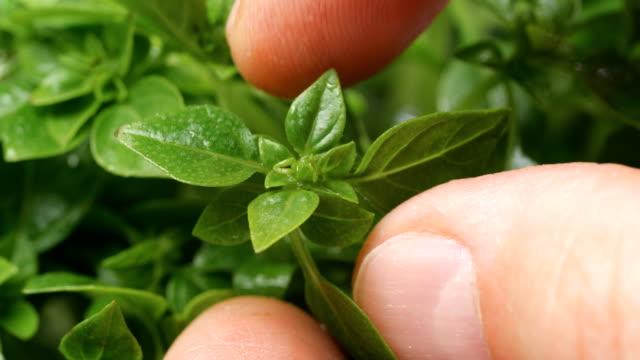 vídeos de stock e filmes b-roll de hand picking fresh basil in herbal garden - manjericão