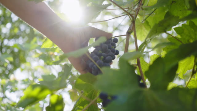 vídeos de stock e filmes b-roll de hand picking grapes on vine plant - douro