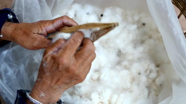 Hand picks cotton off of cotton fruit video