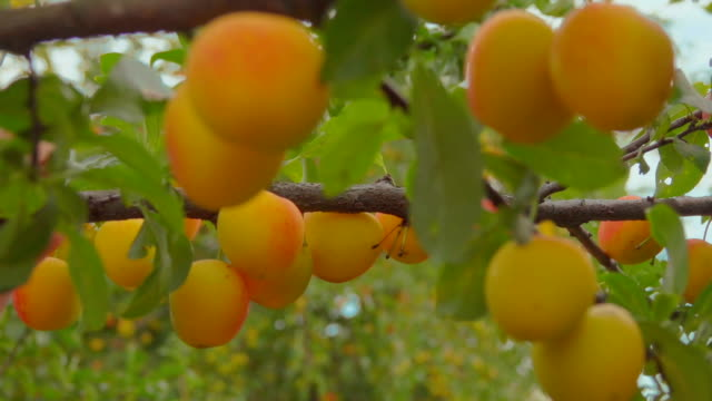 hand picks ripe delicious apricots from apricot tree branches - абрикос стоковые видео и кадры b-roll