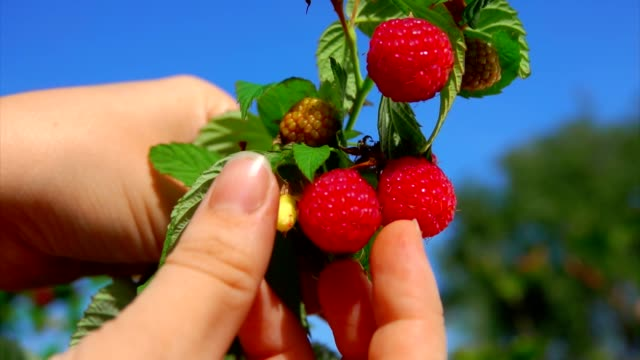 hand picks ripe juicy red raspberries one by one - cestino video stock e b–roll