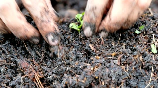 Hand planting seedling of vegetable green oak in soil plot