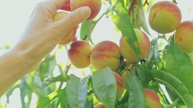 hand reaching and picking fresh peach hanging from idyllic tree,slow motion - pesca frutta video stock e b–roll