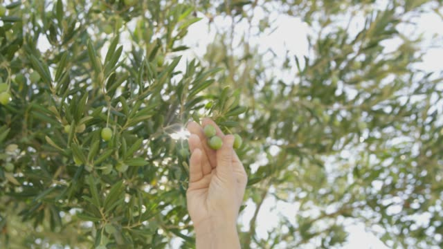 ms hand reaching and picking green olives on tree - oliva video stock e b–roll