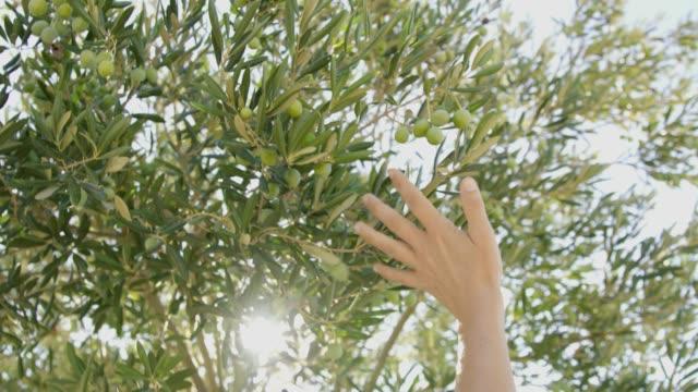 stockvideo's en b-roll-footage met ms hand bereiken en aanraken van idyllische groene olijf boom - olijf