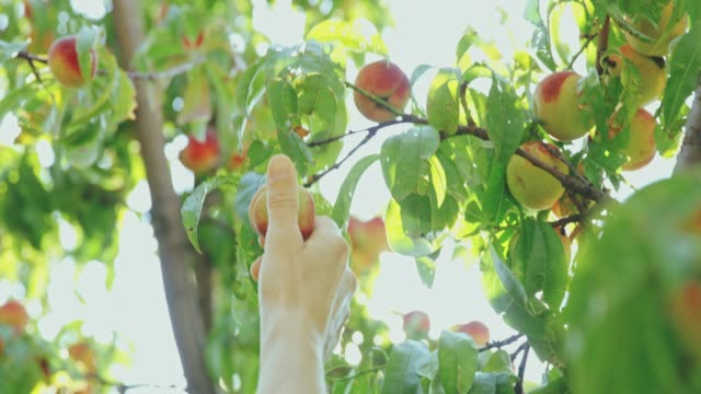 Hand reaching for fresh,ripe peach in sunny tree,slow motion