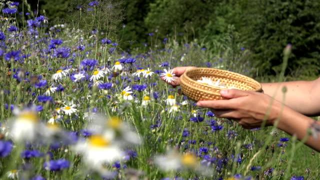 vídeos y material grabado en eventos de stock de manche la manzanilla en la cesta en verano. estilo de vida saludable. fullhd - manzanilla