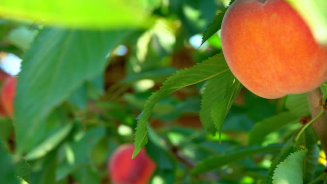 Hand takes a peach from a branch Hand takes a ripe peach from a branch peach stock videos & royalty-free footage