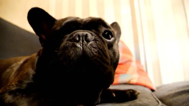 POV hand touch a cute black french bulldog. video