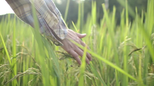 Hand touching and stroking leaves rice cornfield sunlight in wheat field at incredible colorful sunset, Slow Motion