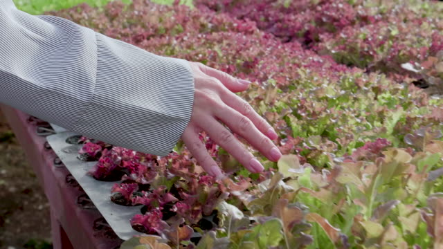 CU : Hand Touching Baby Salad Plant video