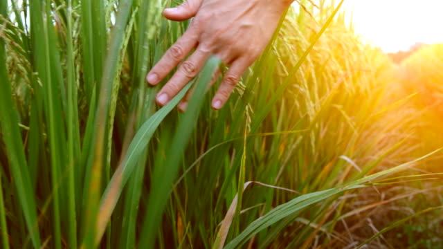 hand zu berühren reif reispflanze auf reisfeld - reis grundnahrungsmittel stock-videos und b-roll-filmmaterial