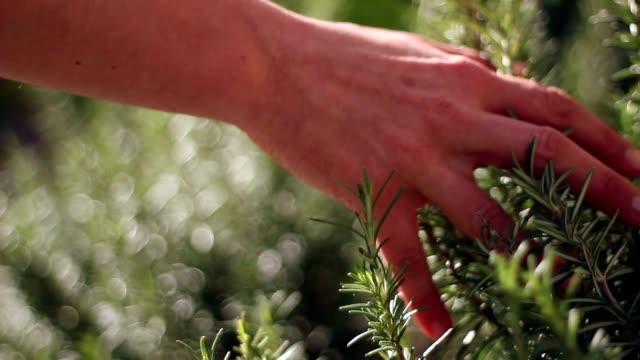 Hand touching rosemary video