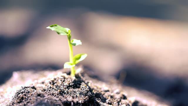 hand vattning till ung planta - böngrodd bildbanksvideor och videomaterial från bakom kulisserna