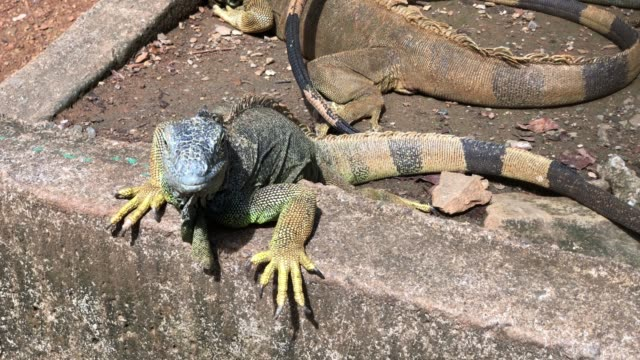 Handheld shot of iguanas sunning in the ground Handheld shot of iguanas sunning in the ground reptile stock videos & royalty-free footage