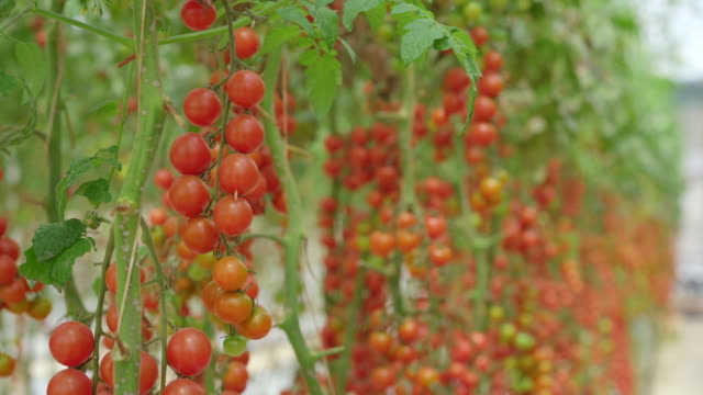 A handheld shot of rows of tomatoes growing in a greenhouse farm. Eco-products concept