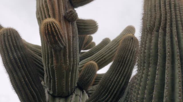Handheld Shot of Saguaro Cacti Handheld shot of saguaro cacti in the arid desert of the american southwest. Arms reach out from the spiny trunk of the rare plant. The endangered succulent is protected in the Saguaro National Forest  outside Tucson Arizona. desert oasis stock videos & royalty-free footage