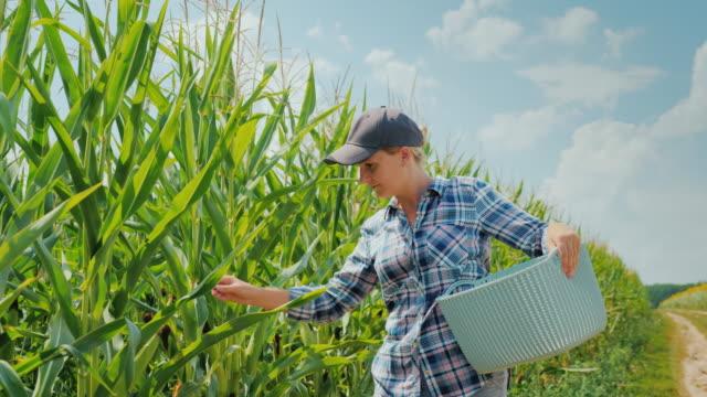 ハンドヘルド撮影: 農家の若い女性がバスケットにバスケットにいくつか耳を運ぶ、トウモロコシのフィールドに沿って行きます。家の農場と有機製品コンセプト - 収穫点の映像素材/bロール