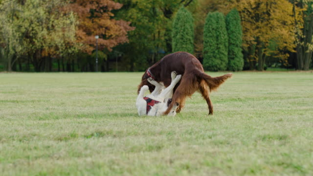 Handheld video shows of two playful dog in the park