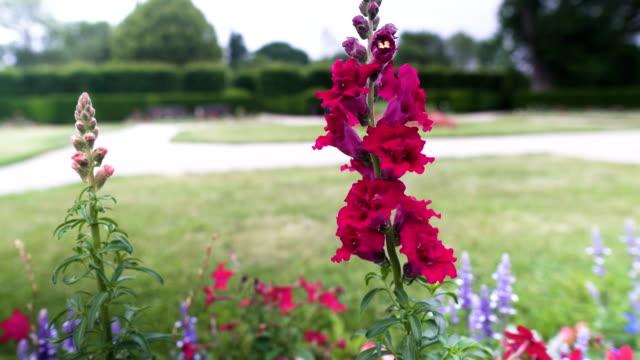 handheld view: Violet Gladiolus Flowers in garden