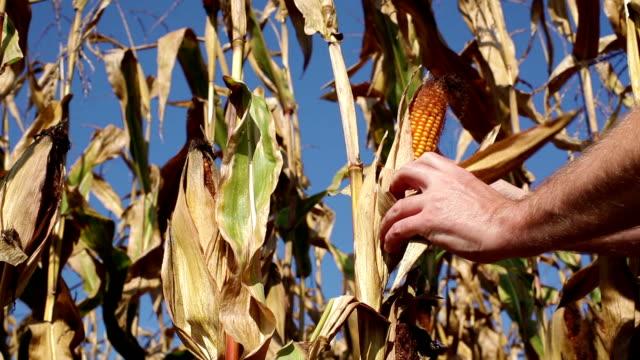 HD - Hands checking ripe Corn video