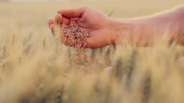 SLO MO Hands dropping wheat grains Slow motion shot of a man hands dropping wheat grains from one hand to the other in the field with sun in the background. wheat stock videos & royalty-free footage