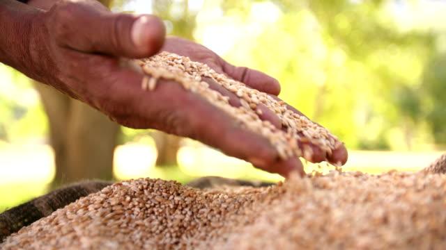 Hands feeling grain of wheat in burlap bag video