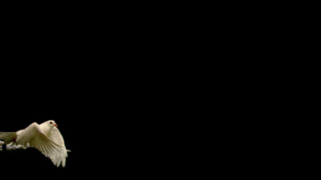 mani liberare un bianco colomba della pace su sfondo nero - colomba video stock e b–roll