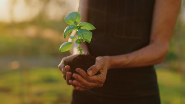 Hands holding green plant Hands holding a green basil plant sapling with beautiful sunset light, concept of new growth and sustainable agriculture, environmental health, caring for mother earth basil stock videos & royalty-free footage