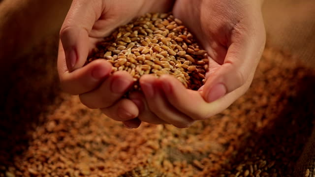 Hands holding wheat grain, result of harvesting campaign, agriculture business Hands holding wheat grain, result of harvesting campaign, agriculture business handful stock videos & royalty-free footage