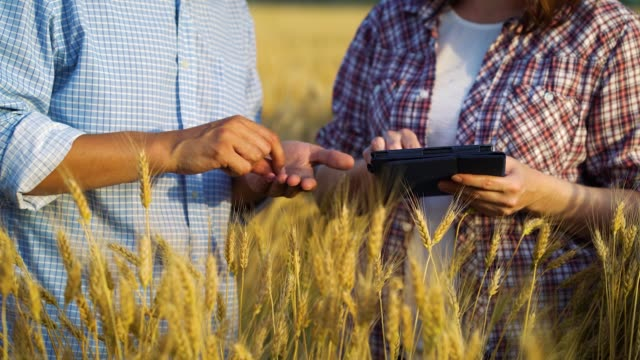Hands of agronomists working in field and examining crops video
