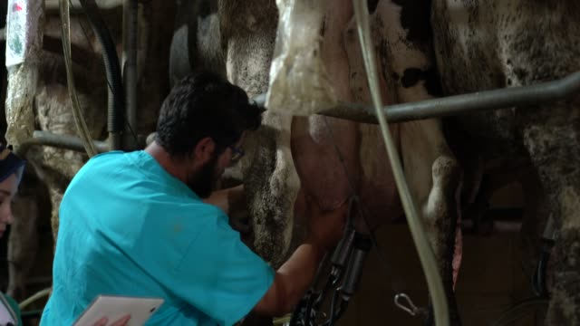 Hands of farmer controlling machine milking of cow